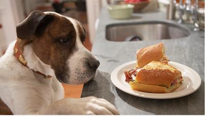 dog staring at plate of human food